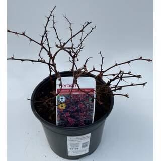 Berberis thunbergii atro nana