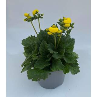 Calceolaria Calynopsis Yellow 2Ltr