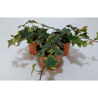 Ivy Hedera Gold  9 cm