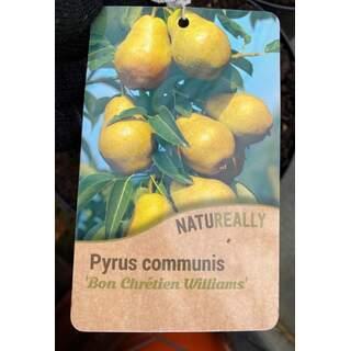 Pyrus c. Bon Chretien Williams - Pear