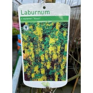 Laburnum Watereri Vossii 12 Ltr