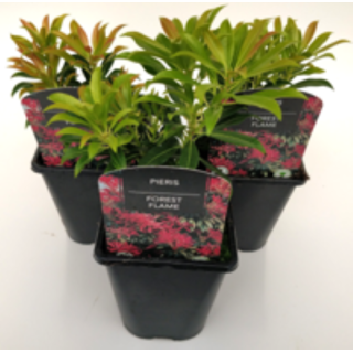 Pieris Forest Flame 1 Ltr