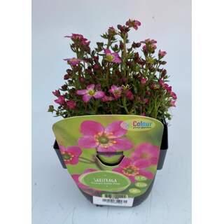 Saxifraga ar. Alpino Rose
