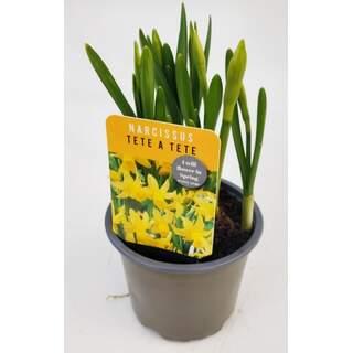 Narcissus Daffodil Tete a Tete 10.5cm
