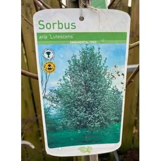 Sorbus Lutescens (white beam) 12 Ltr