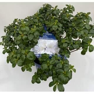 Azalea Evergreen White