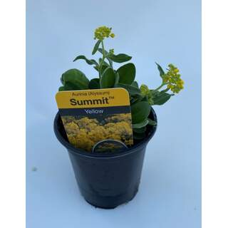 Alyssum Summit Yellow