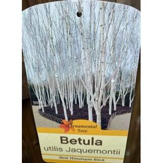 Betula Jacquemontii (multistem)