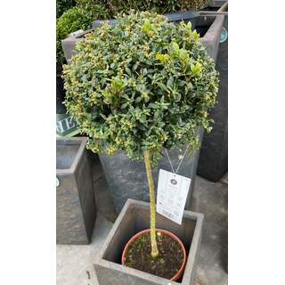 Single Buxus Ball Stand. 23cm