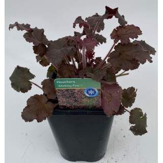 Heuchera Melting Fire 1 Ltr