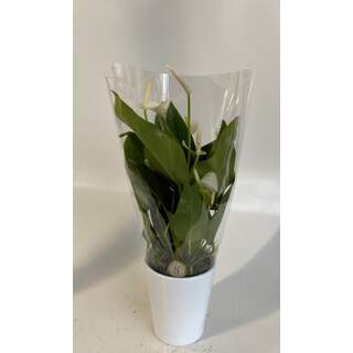 Anthurium White Champion 9 cm