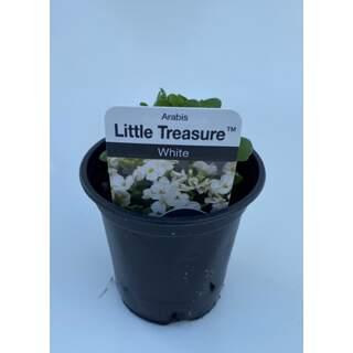 Arabis Little Treasure White