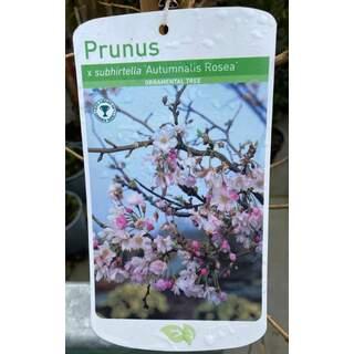 Prunus Autumnalis Rosea 12 Ltr