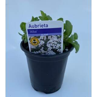 Aubrieta Alba