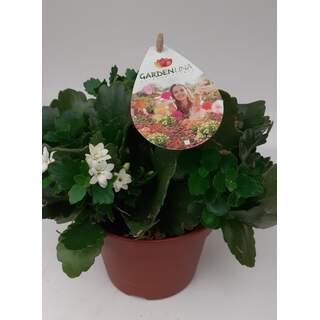 Kalanchoe Gardenlina 15cm