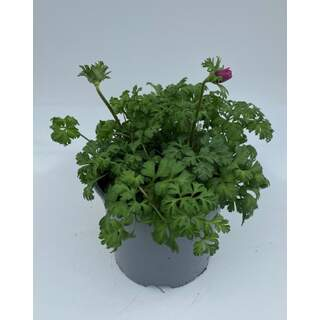 Anemone Orchid Pink 3 Ltr