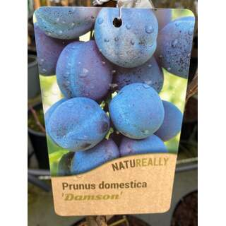 Prunus d.  Damson  Plum