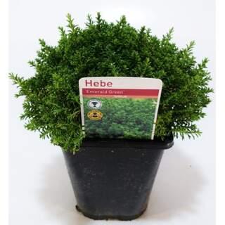 Hebe Emerald Green 1 Ltr