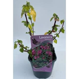 Lavatera Burgundy Wine