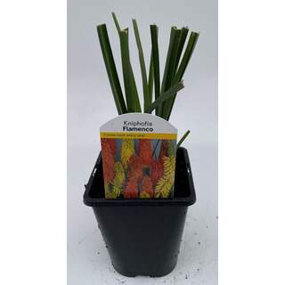 Kniphofia Flamenco Mix 1 Ltr
