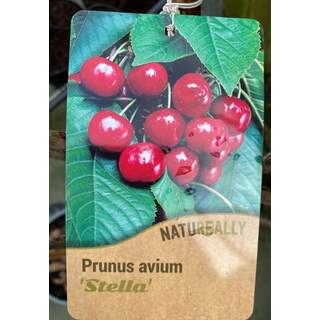Prunus a.  Stella  Cherry