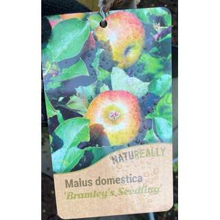 Malus d.  Bramley s Seedling  Apple