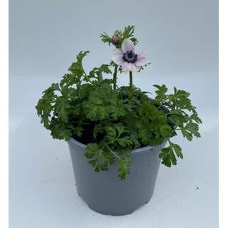 Anemone Pearl White/Pink 3 Ltr