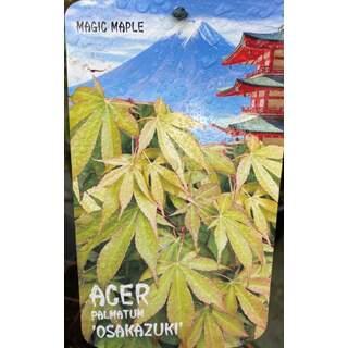 Acer pal.  Osakazuki