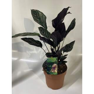 Calathea Sanderiana