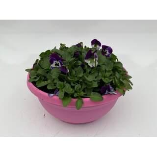 Viola Rocky Purple Face Bowl