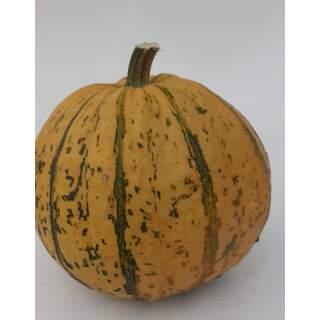 Pumpkin - Blaze / large