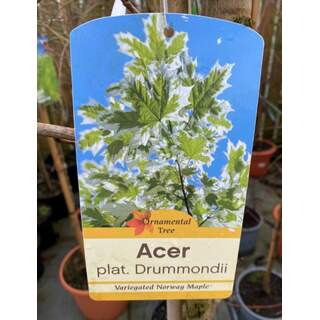 Acer Drummondii