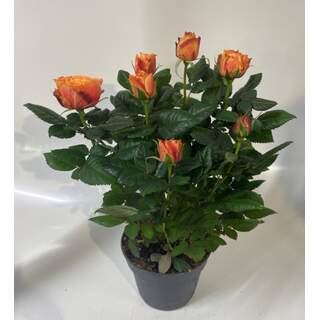Rose Patiohit Orange