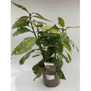 Acuba jap variegata