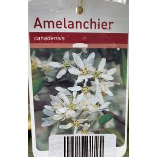 Amelanchier Canadensis 12 Ltr