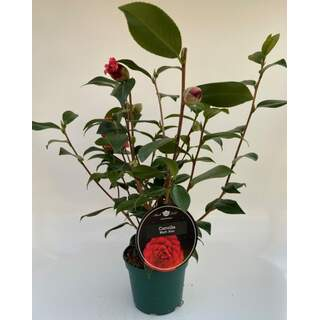 Camellia japonica Red
