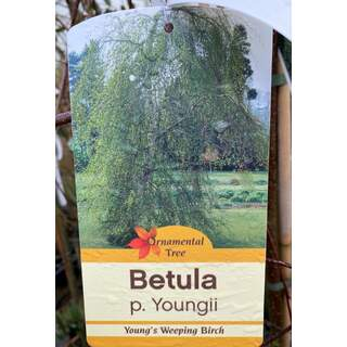 Betula Youngii (weeping birch) 12 Ltr