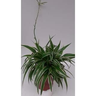 Chlorophytum com. Ocean P10.5