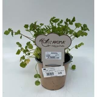 Herb - Coriander