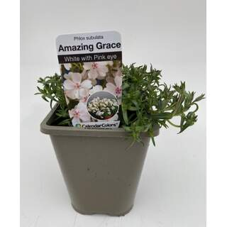 Phlox Amazing Grace White with Eye 1 Ltr