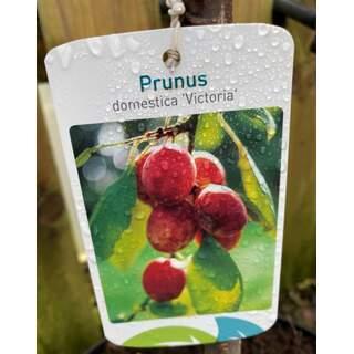 Prunus d.  Victoria  Plum