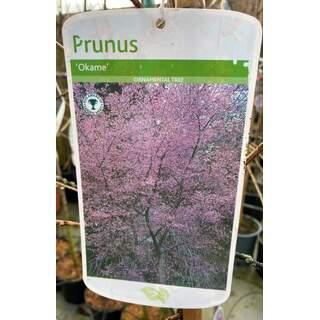 Prunus Okame 12 Ltr