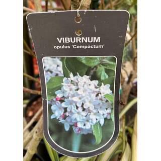 Viburnum opulus Compactum