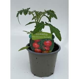 VEGTomato Gardeners Delight
