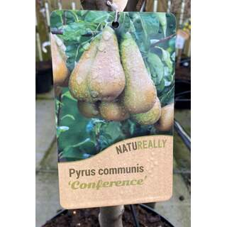 Pyrus c. Conference Pear