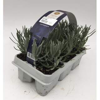 Lavandula angustifolia 6-pack