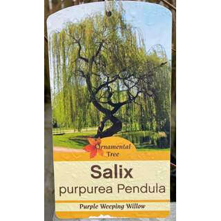 Salix Purple Weeping Willow