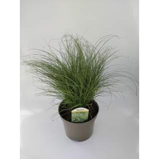 Carex Comans Mint Curls 3 Ltr