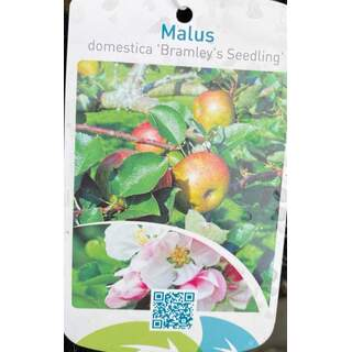 Malus d.  Bramley s Seedling